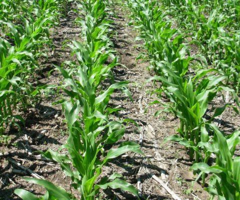 Los maíces tardíos vuelven a recobrar protagonismo en la región