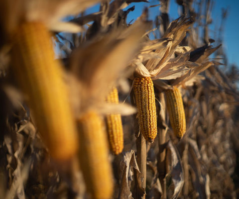 Claves para lograr un maíz tardío de calidad