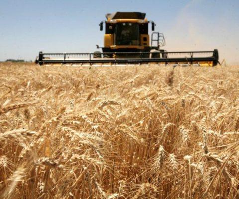 Las lluvias pararon el deterioro del trigo en la región núcleo
